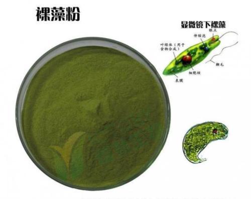 裸藻与裸藻粉