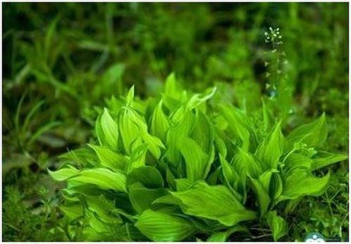 螺旋藻减肥